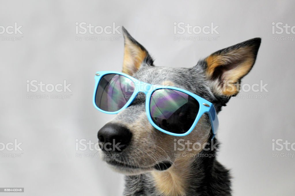 Dog in Sunglasses stock photo