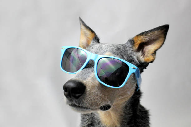 Dog in Sunglasses stock photo