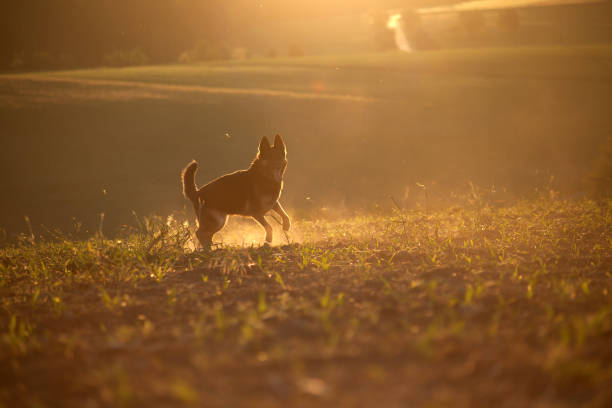 dog in sunset with backlight run free in field stock photo