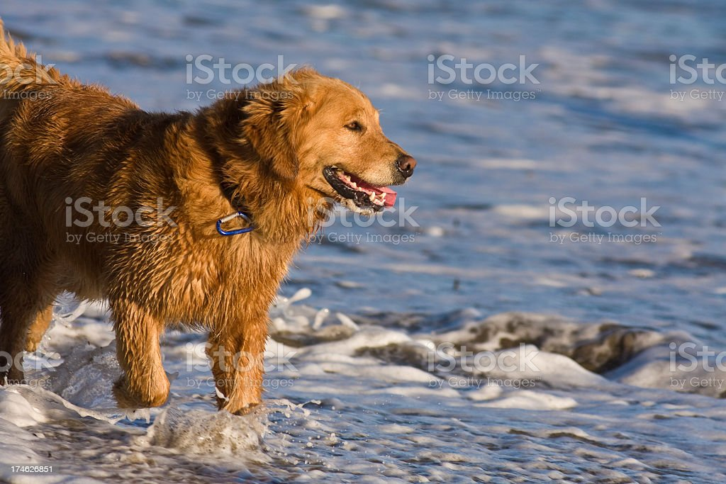 dog in surf royalty-free stock photo