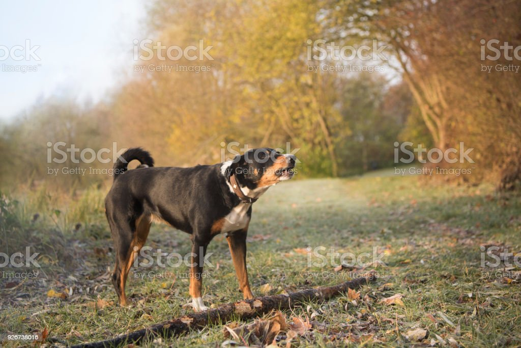 Dog in the autumn - Appenzeller Sennenhund - Appenzell Cattle Dog stock photo