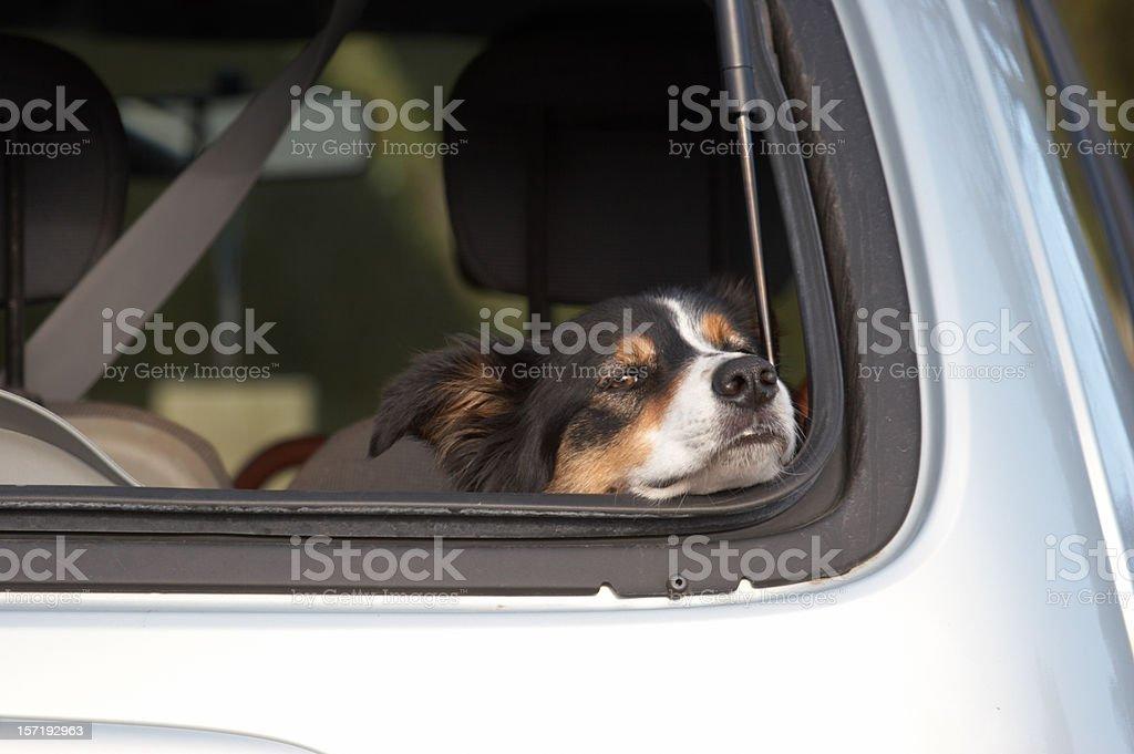 Hund auf dem Rücken ein Auto – Foto