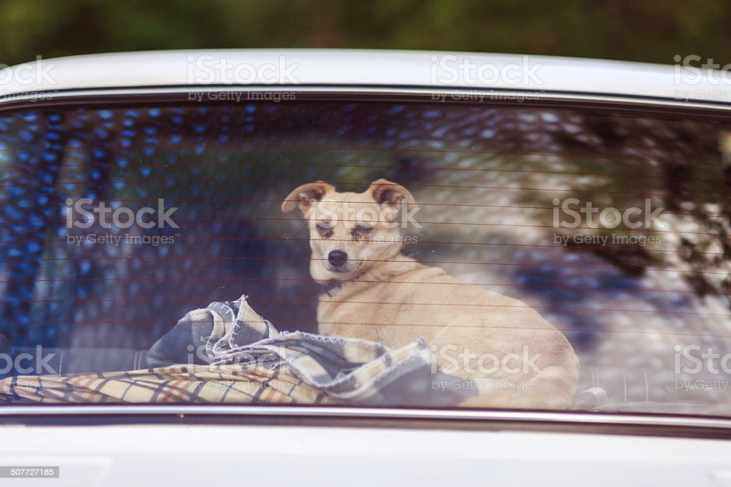 Dog in the back of the car royalty-free stock photo