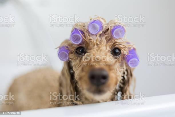 Dog in the bathtub picture id1175836216?b=1&k=6&m=1175836216&s=612x612&h=oxvkixrezchql7uvkcd8fwqpu4hqtt1hmkxkbsi ch0=