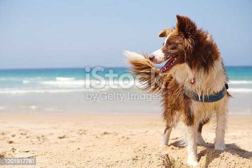 Dog in the beach, border collie