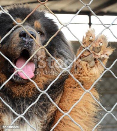 Dog(Tibetan Mastiff ) In The Cage