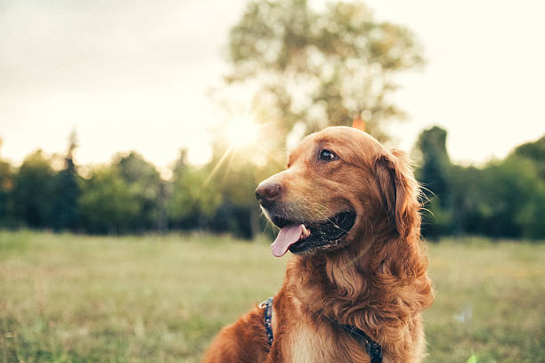Dog in the city park Golden retriever at the park retriever stock pictures, royalty-free photos & images