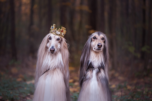 istock Dog in the crown,   afghan hounds ,  in royal clothes, on a natural background. Dog lord, prince, dog power theme 1130252309