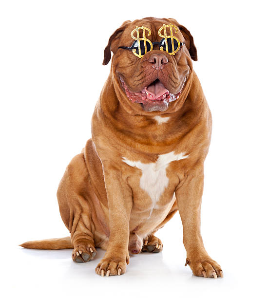 dog in the funny glasses is sitting stock photo