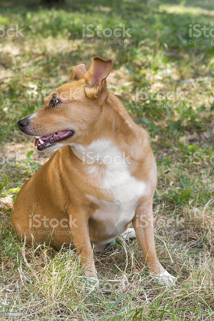 Dog in the grass royalty-free stock photo