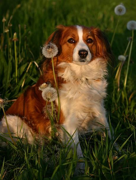 hund im gras - kooikerhondje welpen stock-fotos und bilder