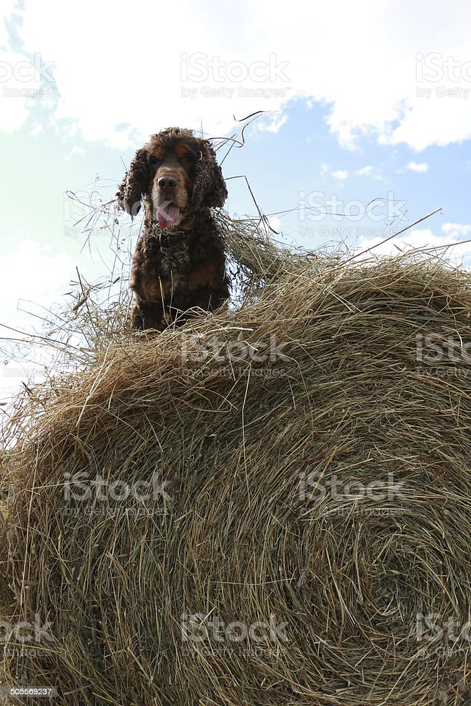 Dog in the manger stock photo