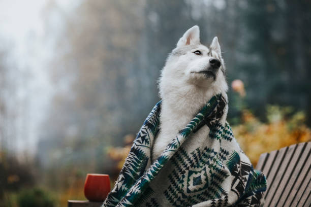 Dog in the morning garden Siberian Husky Dog in the morning garden husky dog stock pictures, royalty-free photos & images