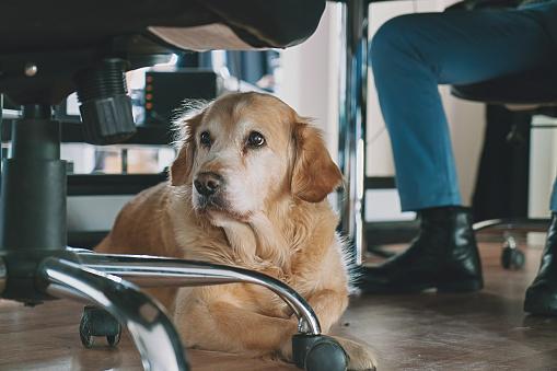 Dog, Office, Pets, Working, Golden retriever