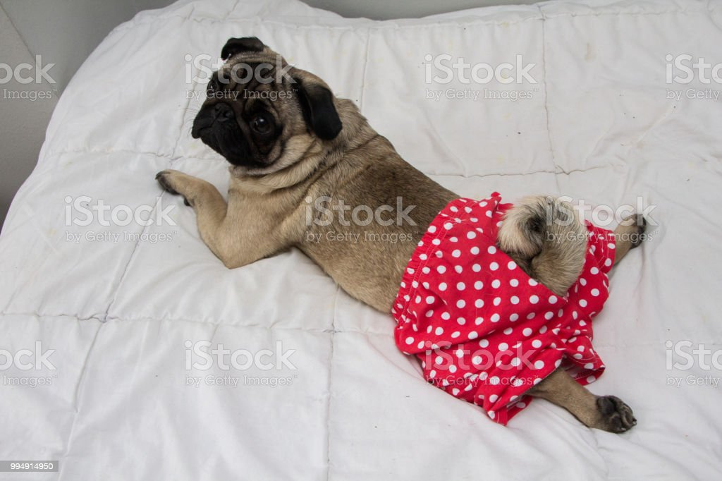 Dog in the pants stock photo