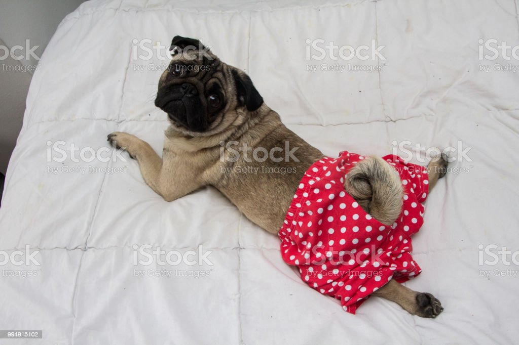 Dog in the pants royalty-free stock photo