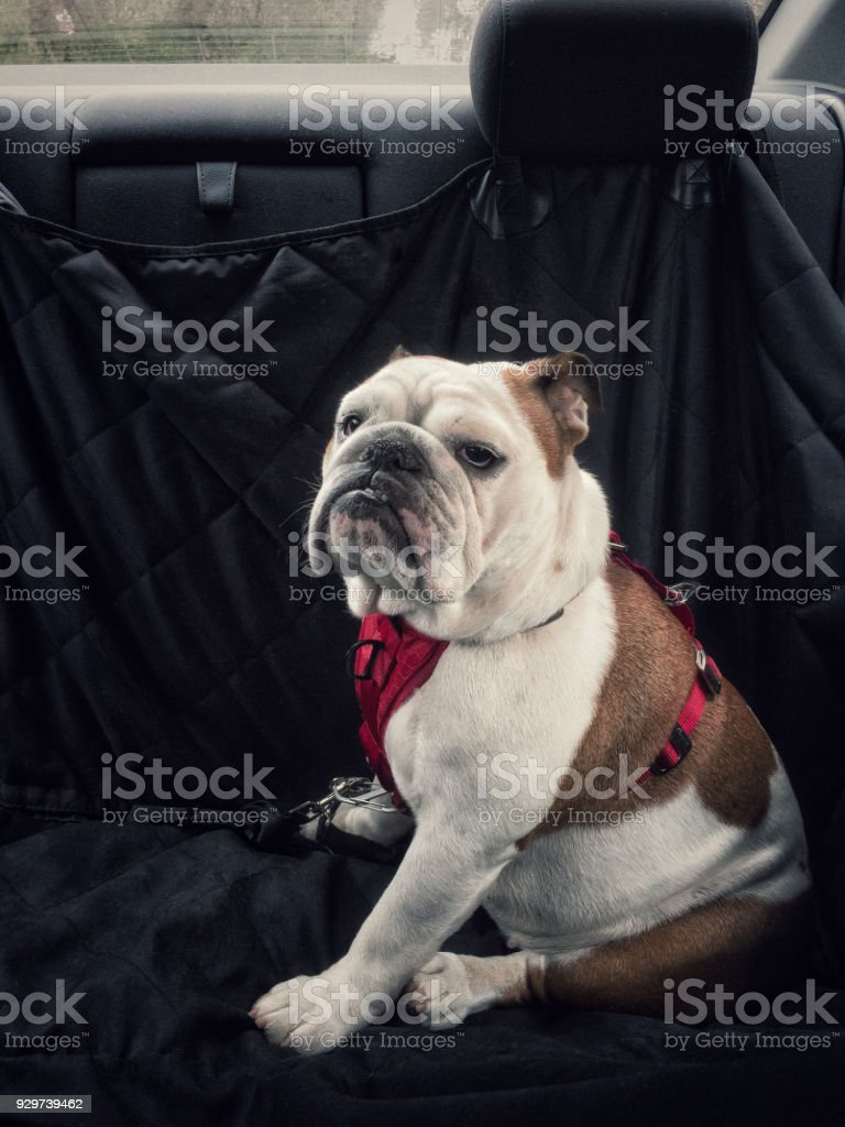 dog in the rear seat stock photo