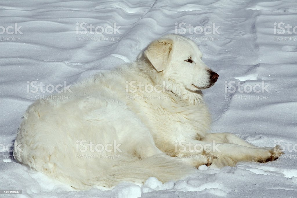 Hund im Schnee royalty-free stock photo
