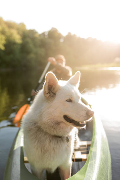 Dog in the sunset in a canoe stock photo