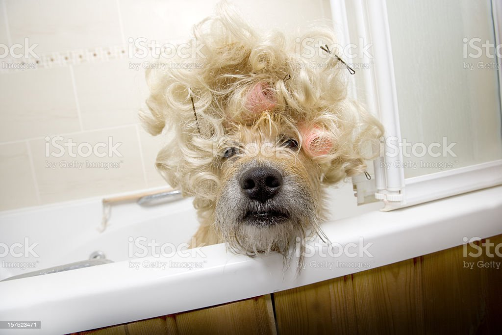 Dog in tub with hair rollers and crazy fur stock photo