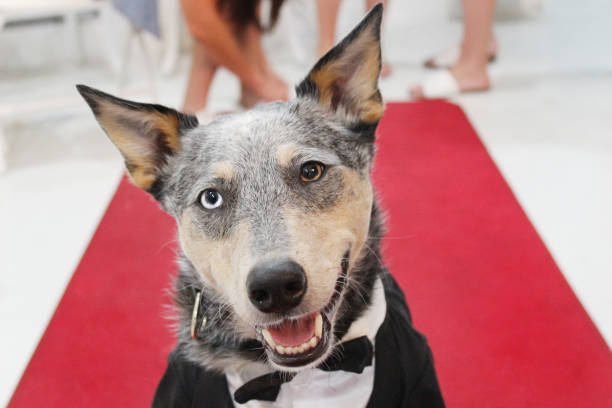 Dog in Tuxedo on Red Carpet stock photo