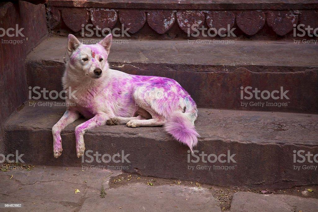 Cane di Varanasi, India dipinto di felice Holi Festival foto stock royalty-free
