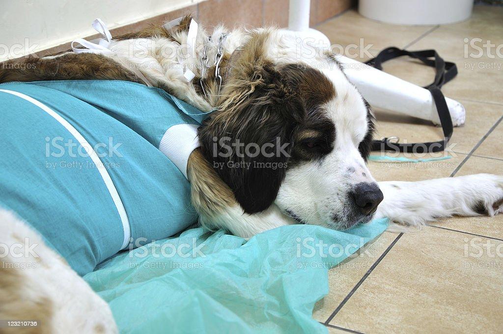 Dog in veterinary clinic royalty-free stock photo