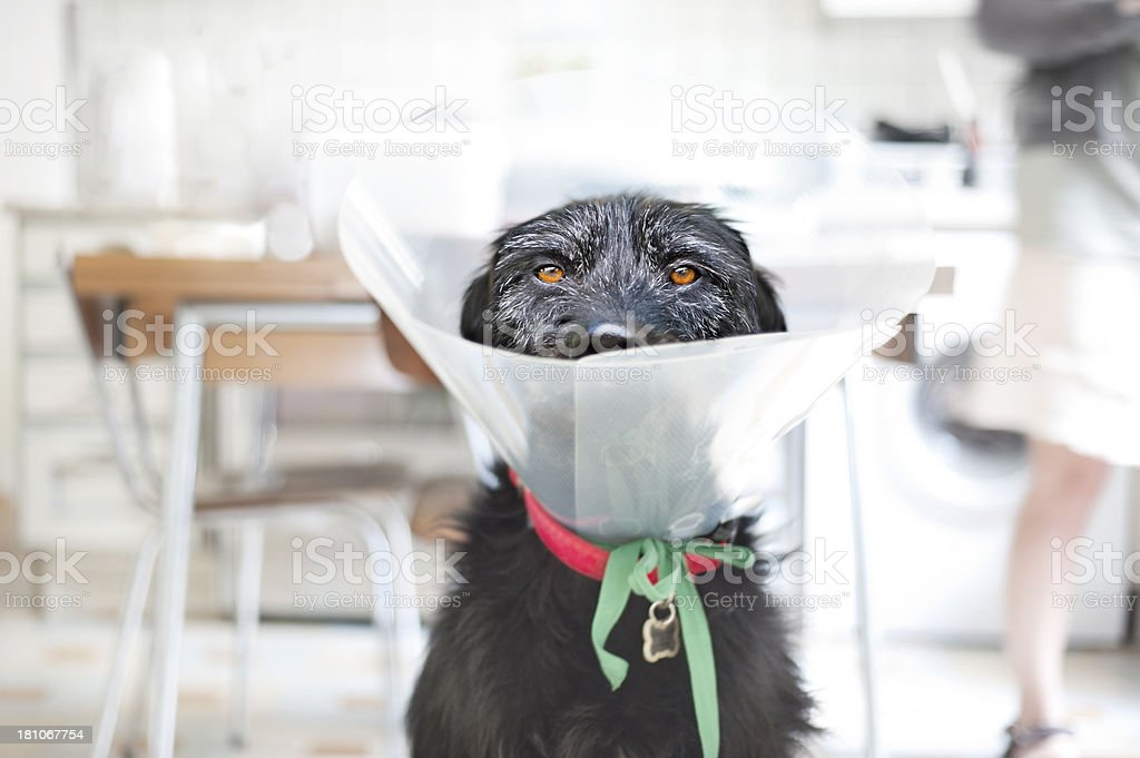 Dog in veterinary collar royalty-free stock photo