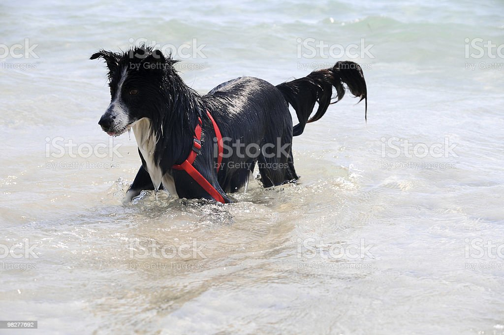 dog in water (series) royalty-free stock photo