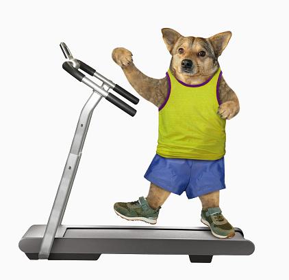 Dog in yellow t-shirt on treadmill