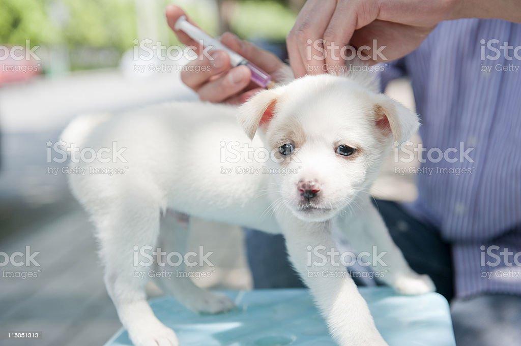 dog Injection stock photo