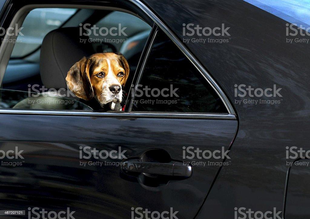 Dog inside a Car stock photo