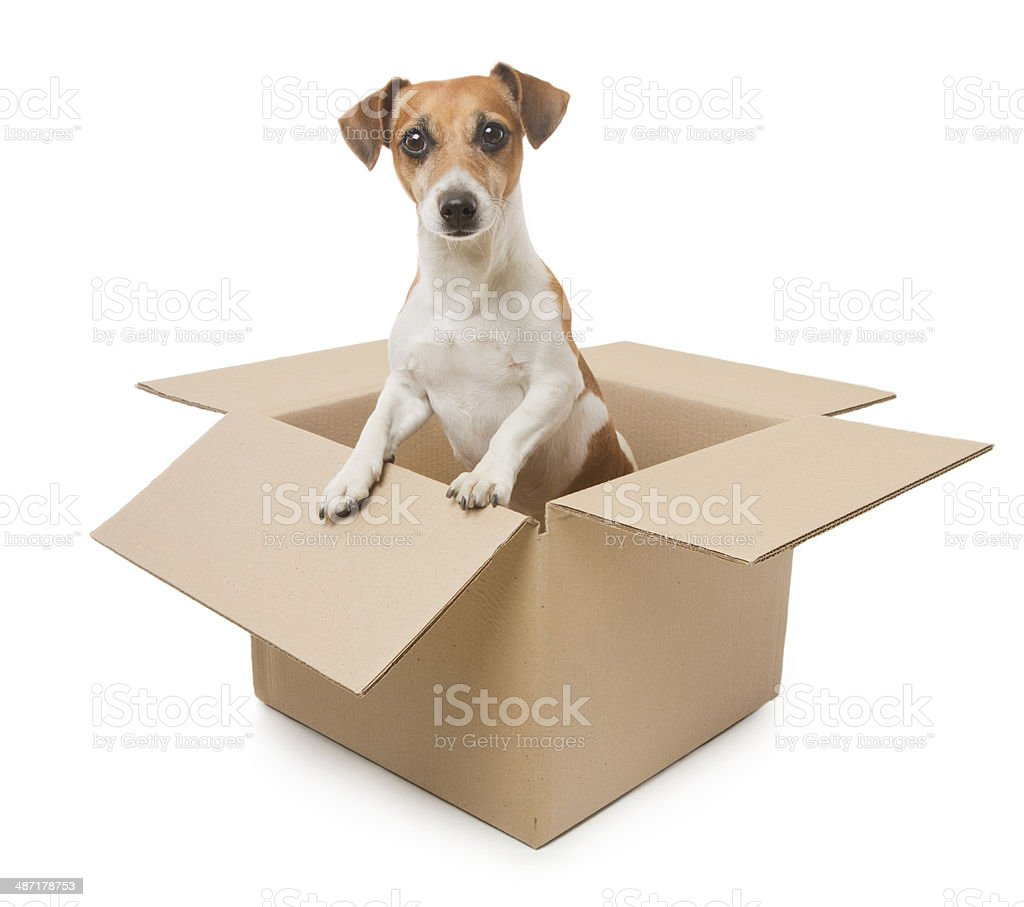 Dog inside the box package delivery stock photo