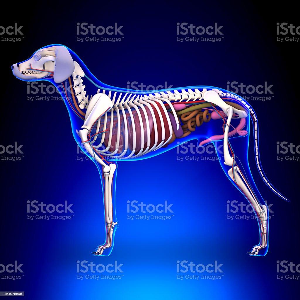 Dog Internal Organs Anatomy Anatomy Of A Male Dog stock photo | iStock