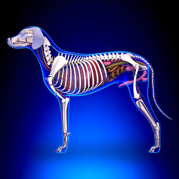 Dog Internal Organs Anatomy - Anatomy of a Male Dog stock photo