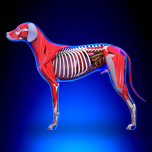 Royalty Free Dog Anatomy Pictures Images And Stock Photos Istock