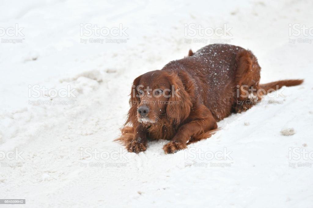 Dog Irish Red setter royalty-free stock photo