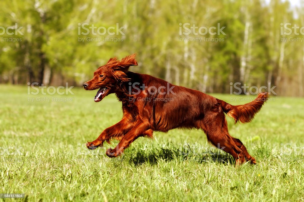 dog Irish setter running stock photo