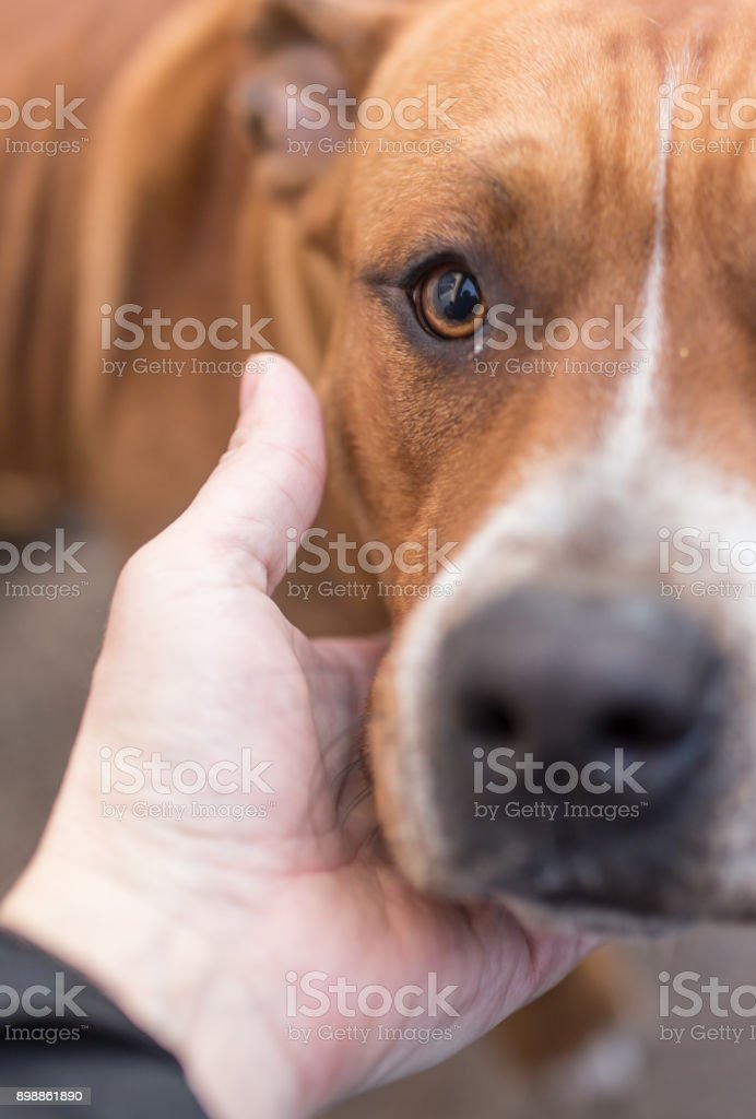 dog is a pit bull with a hand stock photo