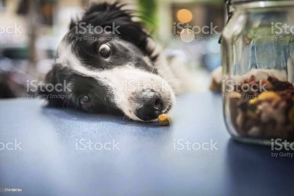 A dog is catching a snack resting on the blue table. stock photo
