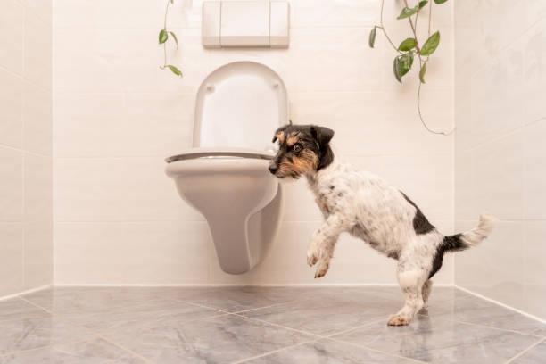 hund tanzt auf der toilette - jack russell terrier - durchfall beim hund stock-fotos und bilder