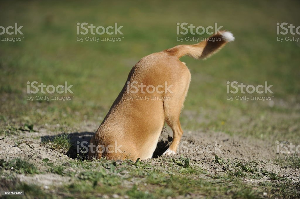 Dog is digging a hole. stock photo