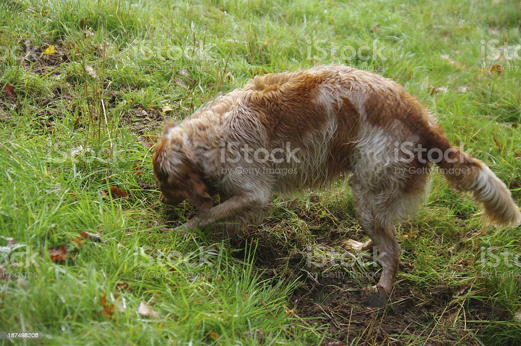 Dog is digging in the field royalty-free stock photo