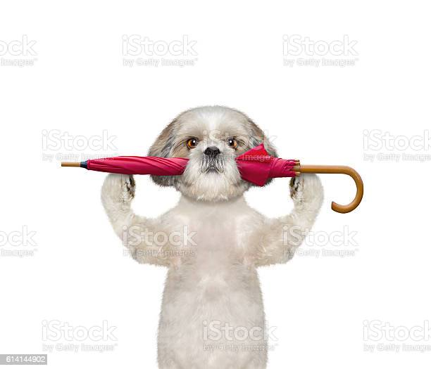 Dog is holding an umbrella picture id614144902?b=1&k=6&m=614144902&s=612x612&h=w96ju9o ugokkikrwkfcsqmmdyxr3ttyu3j1laqo084=