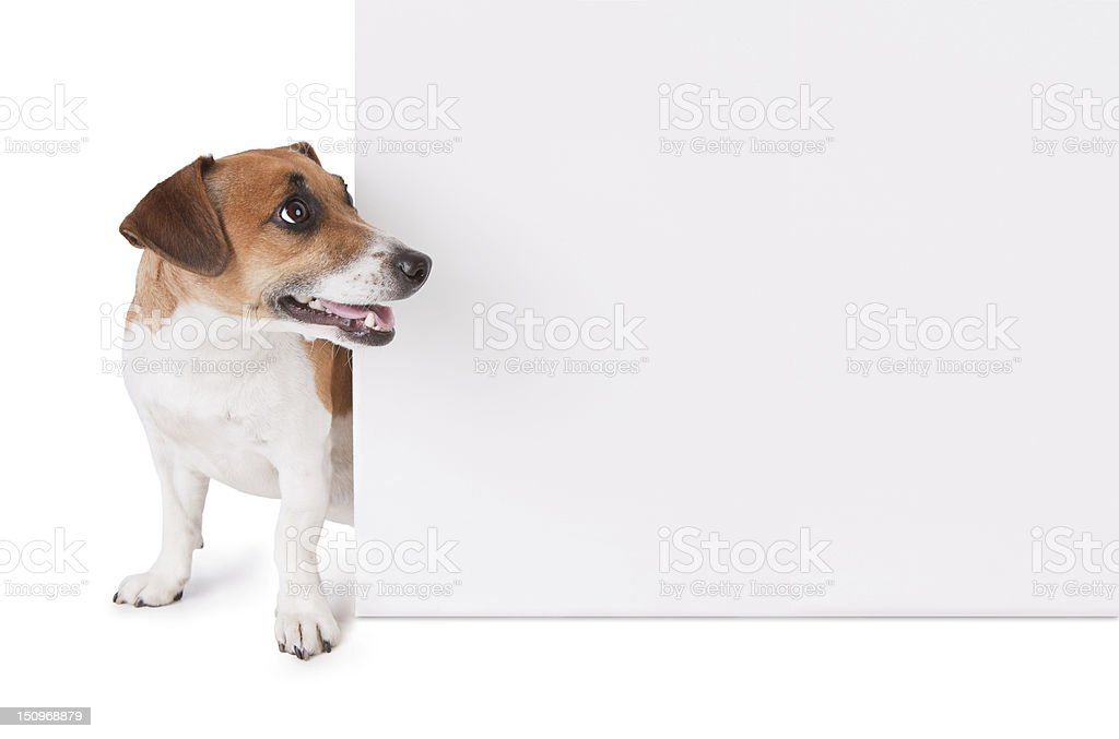 dog is looking out from behind a poster stock photo