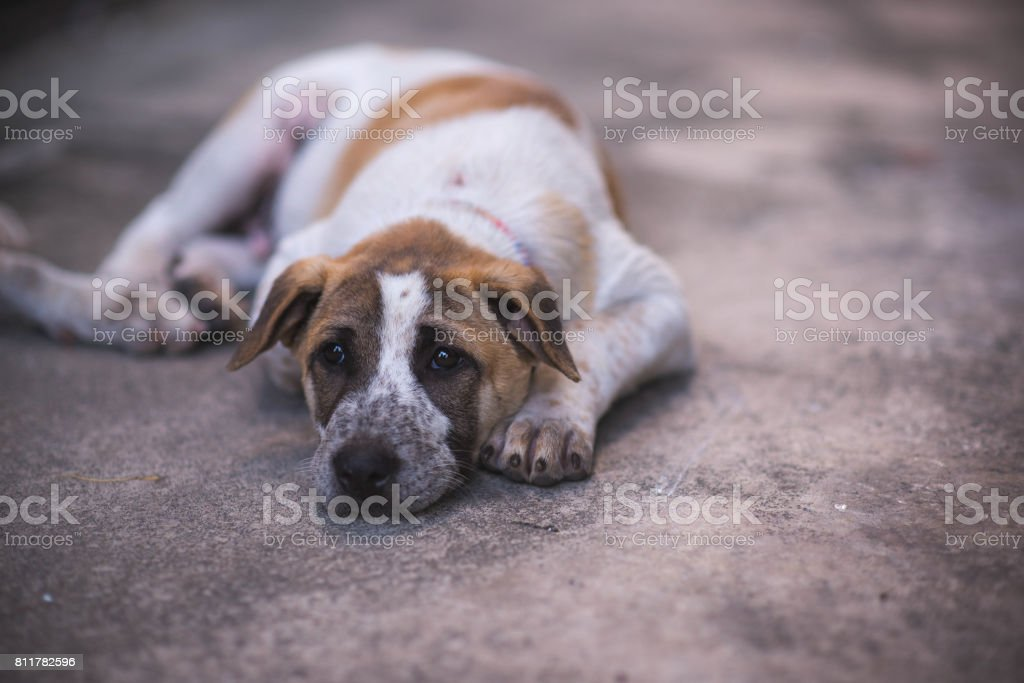 Dog is lying down on the floor. stock photo