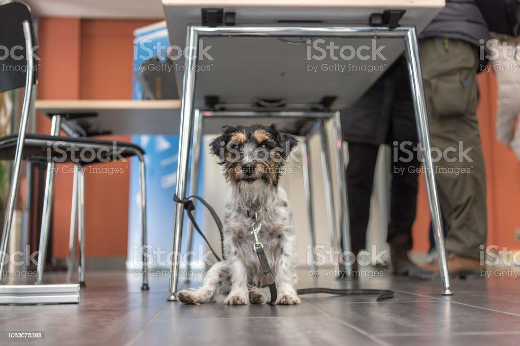 Hund ist entspannend und warten in einem öffentlichen Gebäude - Jack Russell Terrier 3 Jahre alt – Foto