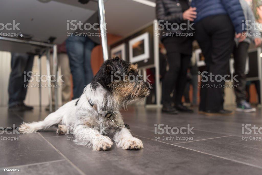 Hund ist entspannend und warten - Jack Russell Terrier 3 Jahre alt – Foto