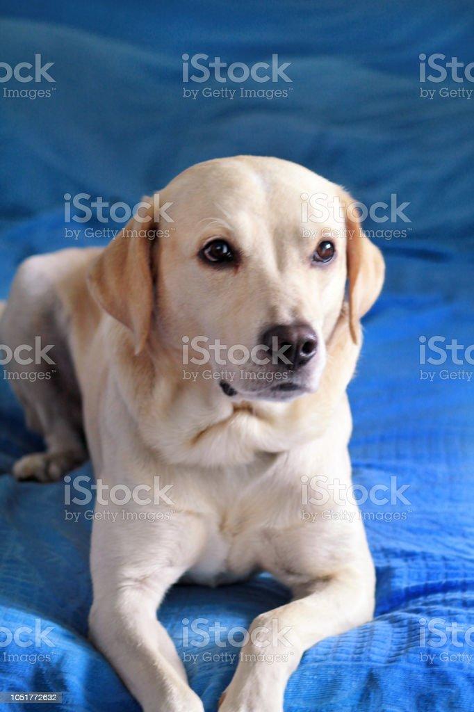 Cão está descansando em casa. Foto de cão retriever de labrador amarelo posando e descansando na cama para sessão de fotos. Retrato de labrador lindo, apreciando e descansando em uma cama azul, coloca na frente da câmera. - foto de acervo