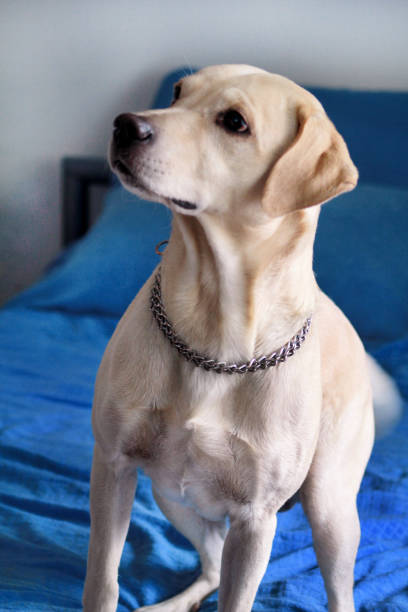 Dog is resting at home. Photo of yellow labrador retriever dog posing and sitting on bed for photo shoot. Portrait of cute labrador, enjoying and resting on a blue bed, poses in front of the camera. stock photo